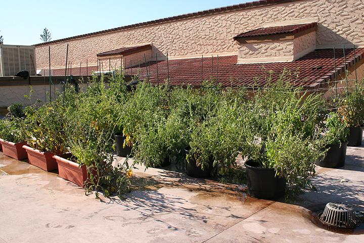 A rooftop kitchen Garden