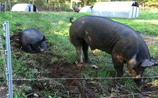 Happy pigs at Stone Barns